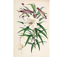 A Monograph of the Genus Lilium Henry John Elwes Illustrations W H Fitch 1880 0097 Photographic Print
