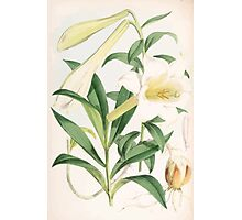 A Monograph of the Genus Lilium Henry John Elwes Illustrations W H Fitch 1880 0131 Photographic Print