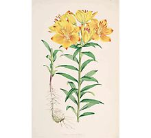 A Monograph of the Genus Lilium Henry John Elwes Illustrations W H Fitch 1880 0077 Photographic Print