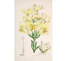 A Monograph of the Genus Lilium Henry John Elwes Illustrations W H Fitch 1880 0051 Photographic Print