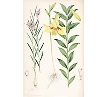 A Monograph of the Genus Lilium Henry John Elwes Illustrations W H Fitch 1880 0203 Photographic Print