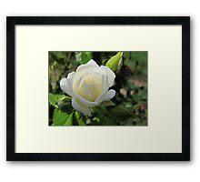 Whipped Cream Rose Framed Print