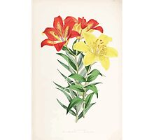 A Monograph of the Genus Lilium Henry John Elwes Illustrations W H Fitch 1880 0175 Photographic Print