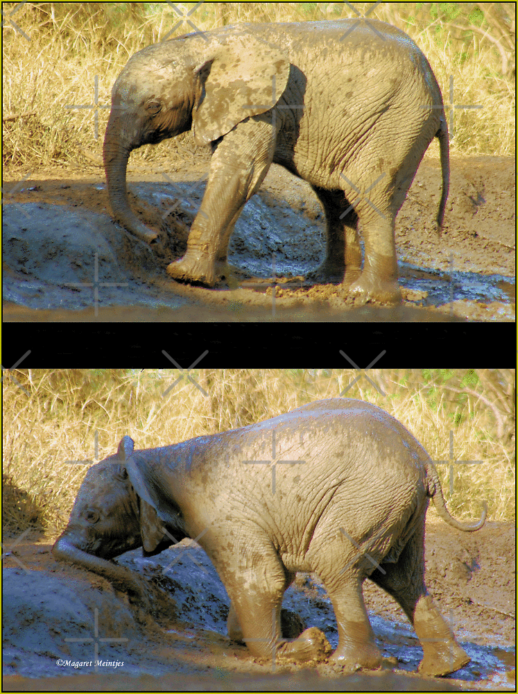 HAD ENOUGH OF THIS MUDBATH, OOPS! SERIES: # UPCLOSE AND PERSONAL WITH ELEPHANTS IN MAPUNGUBWE! by Magriet Meintjes