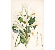 A Monograph of the Genus Lilium Henry John Elwes Illustrations W H Fitch 1880 0181 Photographic Print