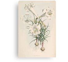A Monograph of the Genus Lilium Henry John Elwes Illustrations W H Fitch 1880 0031 Canvas Print