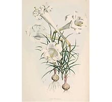 A Monograph of the Genus Lilium Henry John Elwes Illustrations W H Fitch 1880 0031 Photographic Print