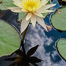 Water Lily (2) by eddiechui
