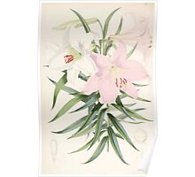 A Monograph of the Genus Lilium Henry John Elwes Illustrations W H Fitch 1880 0107 Poster