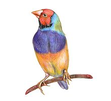 Bright gouldian finch bird by stasia-ch