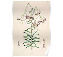 A Monograph of the Genus Lilium Henry John Elwes Illustrations W H Fitch 1880 0059 Poster
