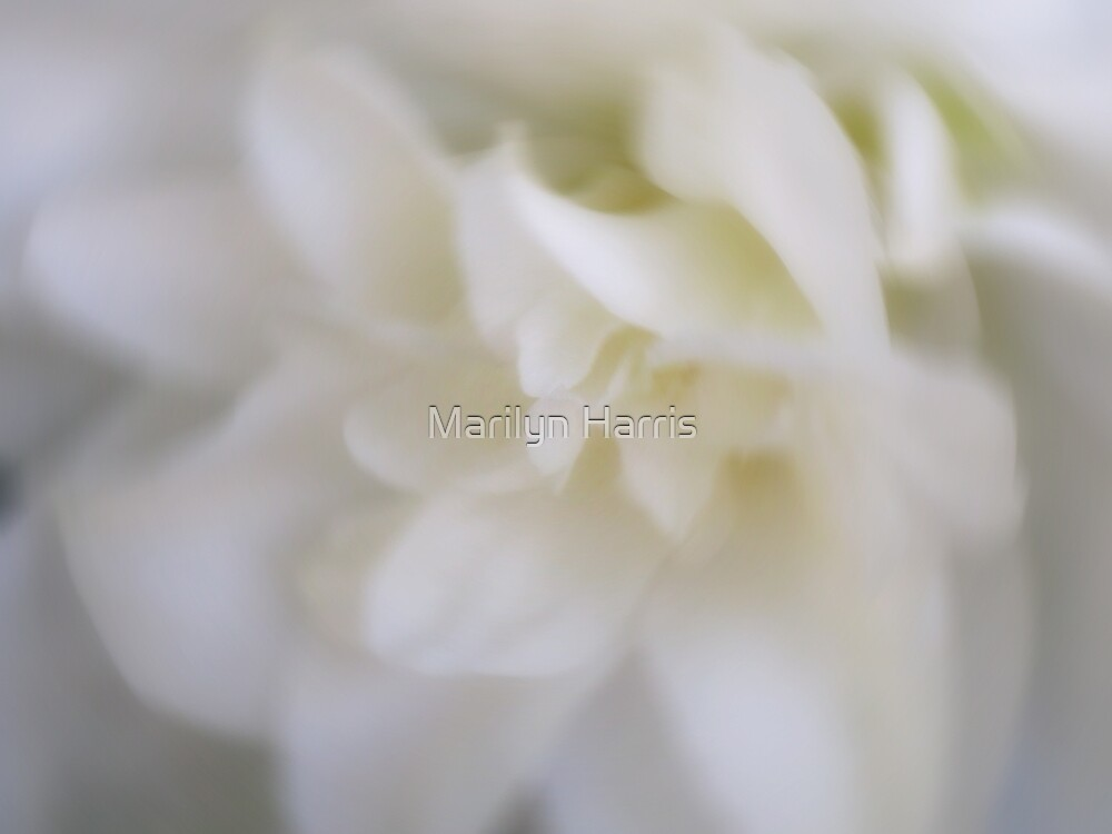 Dreamy White Rose by Marilyn Harris