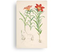 A Monograph of the Genus Lilium Henry John Elwes Illustrations W H Fitch 1880 0073 Canvas Print