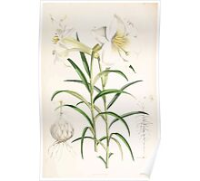A Monograph of the Genus Lilium Henry John Elwes Illustrations W H Fitch 1880 0191 Poster