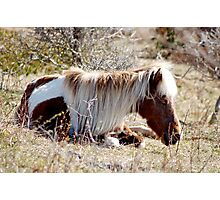 Nap in the Sunshine - Grayson Highlands Ponies Photographic Print