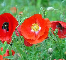 Red Poppies In The Rain by Jean Gregory  Evans