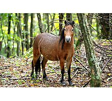 Fox - Grayson Highlands filly Photographic Print