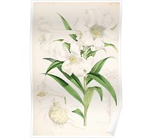 A Monograph of the Genus Lilium Henry John Elwes Illustrations W H Fitch 1880 0143 Poster