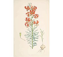 A Monograph of the Genus Lilium Henry John Elwes Illustrations W H Fitch 1880 0089 Photographic Print