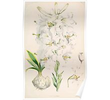 A Monograph of the Genus Lilium Henry John Elwes Illustrations W H Fitch 1880 0085 Poster