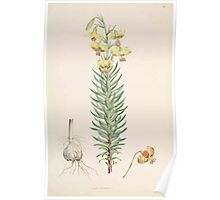 A Monograph of the Genus Lilium Henry John Elwes Illustrations W H Fitch 1880 0047 Poster