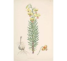 A Monograph of the Genus Lilium Henry John Elwes Illustrations W H Fitch 1880 0047 Photographic Print