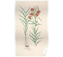 A Monograph of the Genus Lilium Henry John Elwes Illustrations W H Fitch 1880 0123 Poster