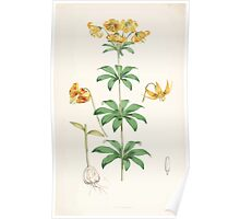 A Monograph of the Genus Lilium Henry John Elwes Illustrations W H Fitch 1880 0155 Poster