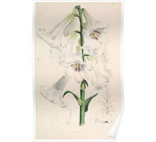 A Monograph of the Genus Lilium Henry John Elwes Illustrations W H Fitch 1880 0065 Poster