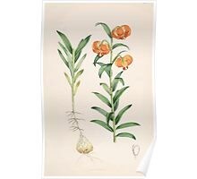 A Monograph of the Genus Lilium Henry John Elwes Illustrations W H Fitch 1880 0081 Poster
