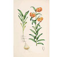 A Monograph of the Genus Lilium Henry John Elwes Illustrations W H Fitch 1880 0081 Photographic Print