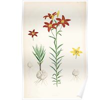 A Monograph of the Genus Lilium Henry John Elwes Illustrations W H Fitch 1880 0199 Poster
