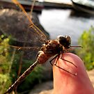 dragonfly by Leeanne Middleton