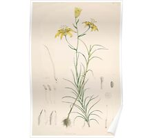 A Monograph of the Genus Lilium Henry John Elwes Illustrations W H Fitch 1880 0055 Poster