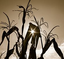 Corn Maze by Christopher Herrfurth