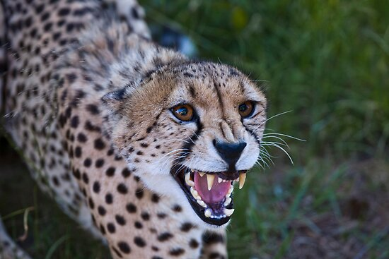 Snarling Cheetah (Acinonyx jubatus)  by Chris Westinghouse
