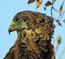 Immature bateleur eagle by jozi1