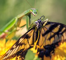 Mantid and Monarch by alan shapiro