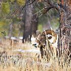 Red Canyon Bighorn Ram 2 by Kim Barton
