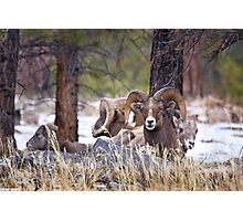 Red Canyon Bighorn Sheep Photographic Print