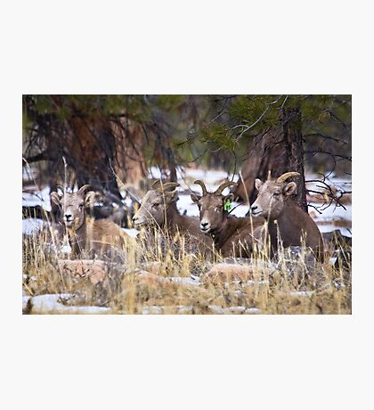 Red Canyon Bighorn Ewes Photographic Print