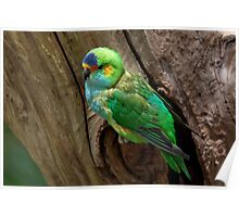 Purple-Crowned Lorikeet Poster