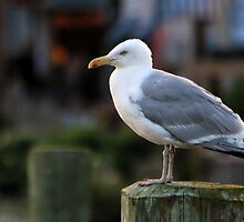 Herring Gull - Watching the Fishing Boats by T.J. Martin