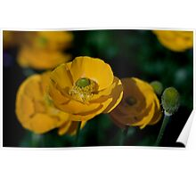 Yellow Poppies Poster