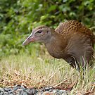 South Island Weka by Robyn Carter