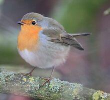 European Robin  (Erithacus rubecula) by DutchLumix