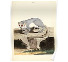 New Illustrations of Zoology Peter Brown 1776 0207 Mammals Poster