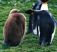 Young King Penguin by cute-wildlife