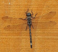 Dragonfly at Plantation Campground, Grampians National Park by Michael Barnett