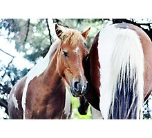 Eowyn - Grayson Highlands pony mare Photographic Print